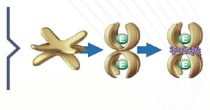 A2M molecules repairing arthritis